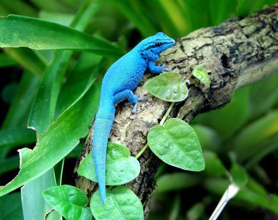 blue day gecko.