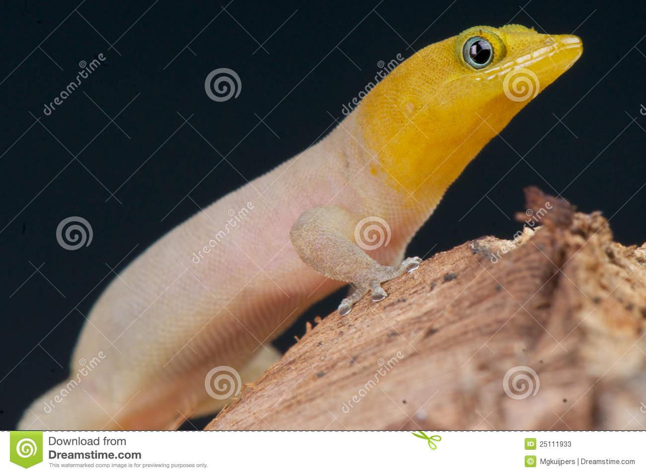 Dwarf Gecko Stock Photos.