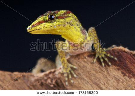Dwarf Gecko Stock Photos, Royalty.