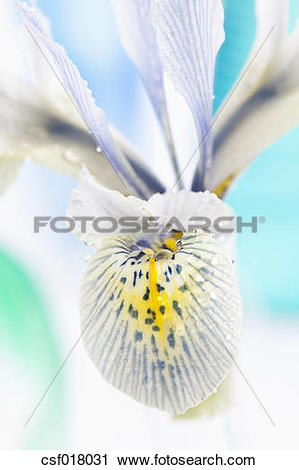 Stock Photography of Dwarf iris flower, close up csf018031.