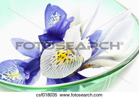 Stock Image of Dwarf iris flower in bowl, close up csf018035.