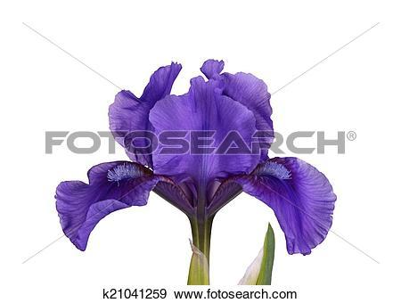 Stock Photograph of Dark purple flower of a dwarf bearded iris.