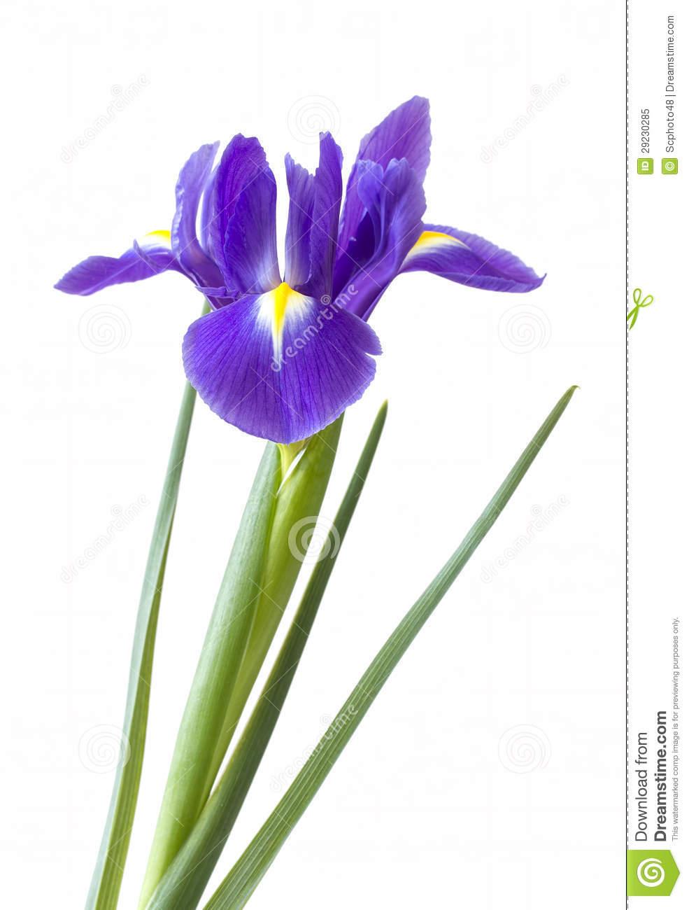 Iris flower clipart.