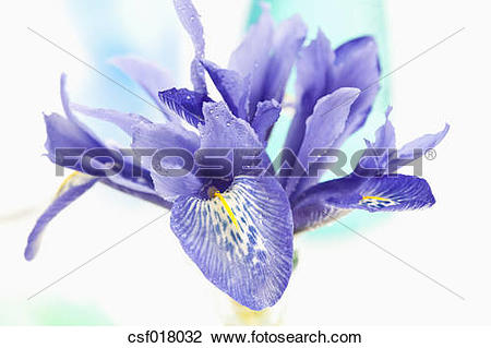 Stock Photo of Dwarf iris flower, close up csf018032.