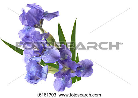 Stock Photo of Dwarf Iris k6161703.