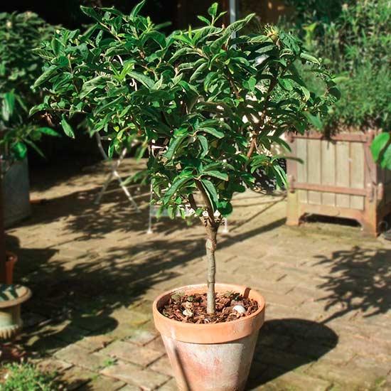 Sibley's Patio Medlar : Pomona Fruits, Buy Fruit Trees, Soft Fruit.