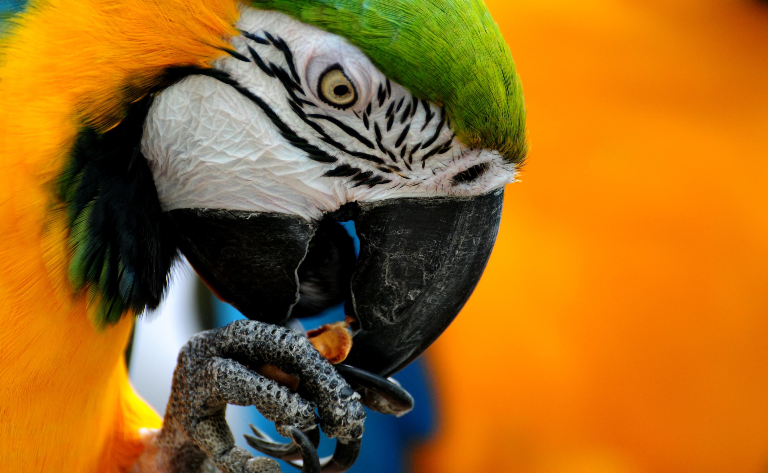 Parrot Clipart.