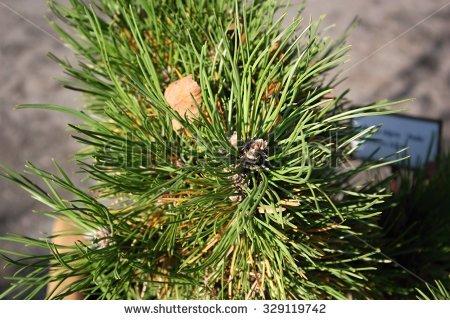 Dwarf pine clipart #5