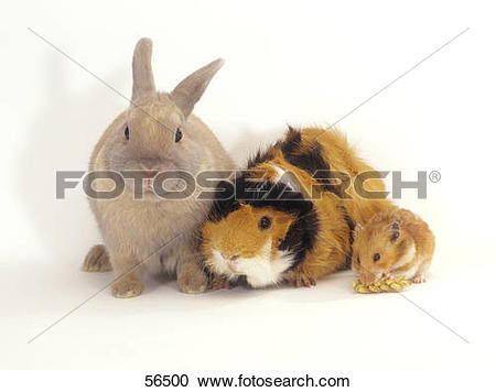 Stock Photography of dwarf rabbit, guinea pig and golden hamster.