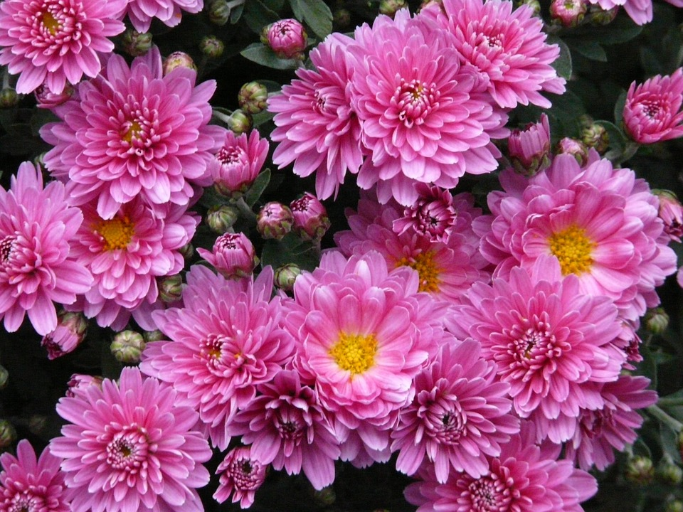 Free photo: Dwarf Sommeraster, Aster.