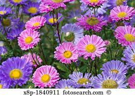 Callistephus Stock Photo Images. 434 callistephus royalty free.