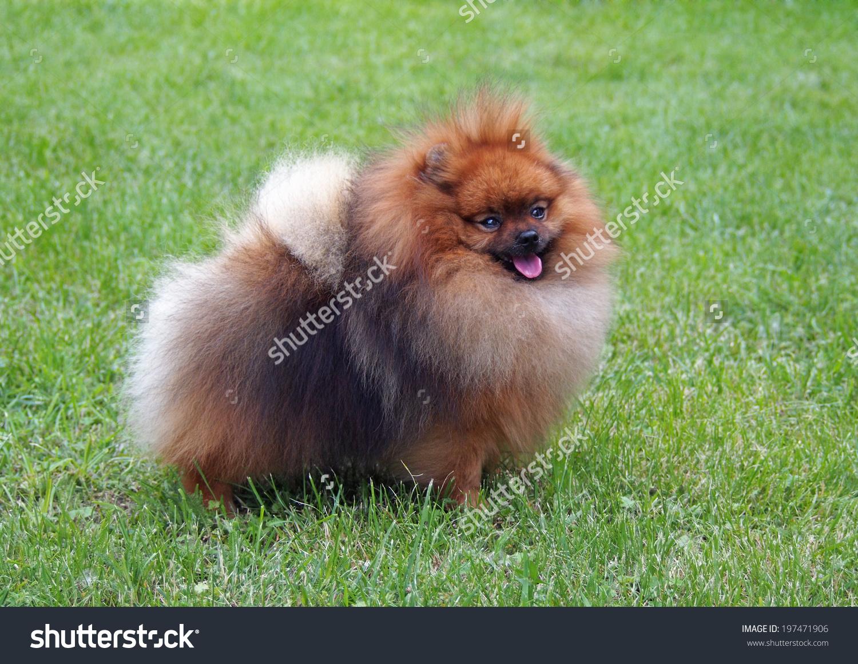 Pomeranian, Dwarf Spitz On A Natural Green Background Stock Photo.