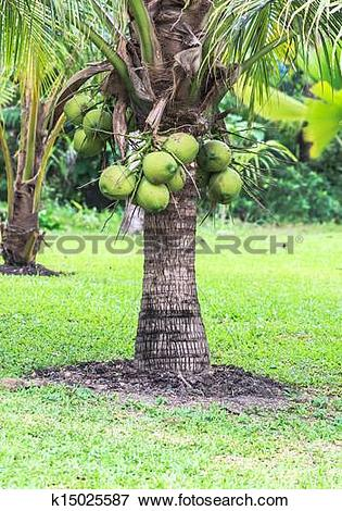 Picture of Coconut Tree, Dwarf variety in plantation k15025587.