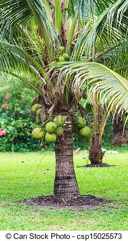Picture of Coconut Tree, Dwarf variety in plantation csp15025573.