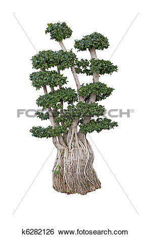 Stock Images of old ficus bonsai dwarf tree k6282126.