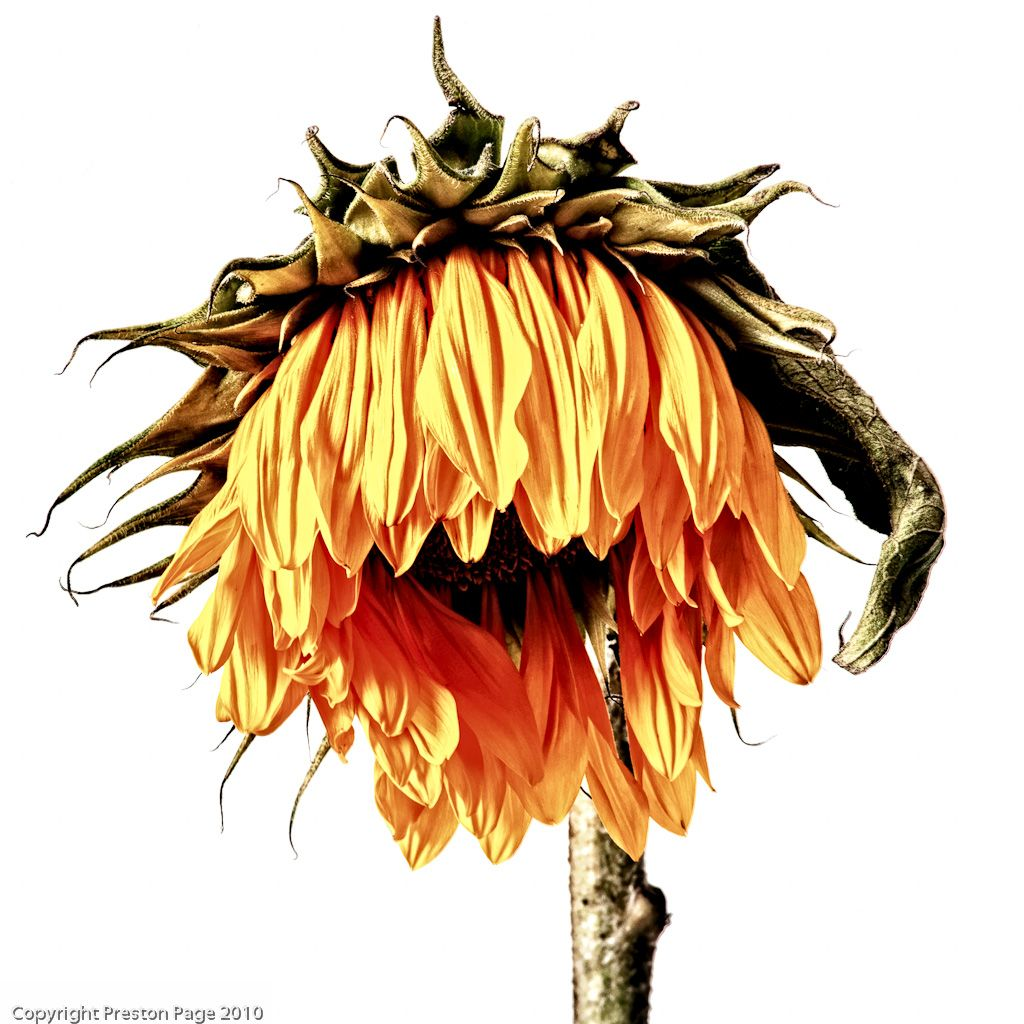 dead wilted sunflowers.