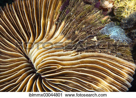 "Stock Photography of ""Partial dying back mushroom coral (Fungia sp."