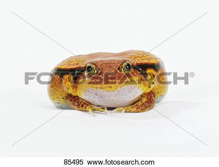 Stock Image of Tomato frog.