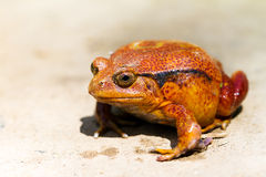 Tomato Frog (Dyscophus Antongilii) Stock Photography.