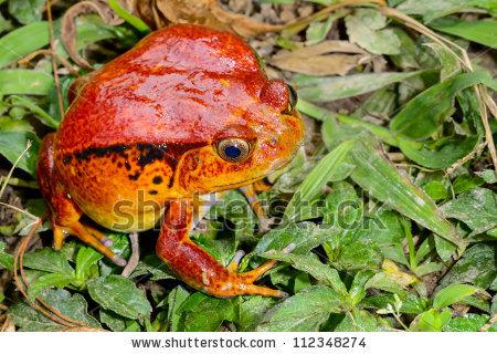 Tomato Frog, Dyscophus Antongilii, Marozevo, Madagascar Stock.