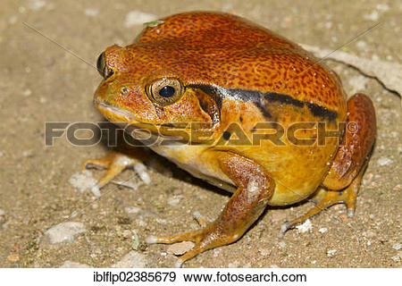"Stock Photograph of ""Malagasy Tomato Frog (Dyscophus antongilii."