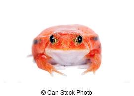 Stock Photography of Tomato frog (Dyscophus Antongilii) isolated.