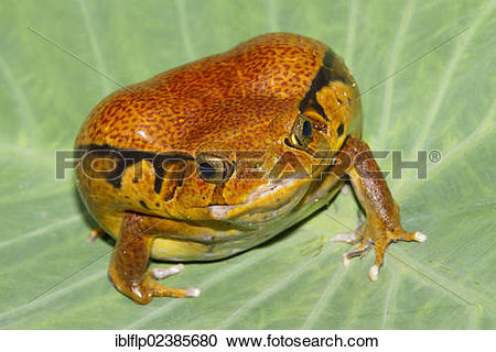 "Stock Photography of ""Malagasy Tomato Frog (Dyscophus antongilii."