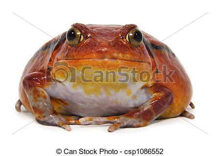 Stock Photo of Tomato frog (Dyscophus Antongilii) isolated on.