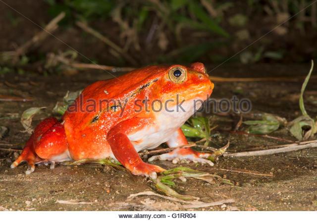 Tomato Frog Dyscophus Antongilii Stock Photos & Tomato Frog.