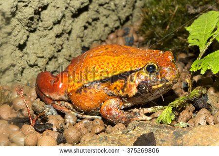 False tomato frog, Dyscophus guyneti.