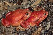 Stock Photo of Tomato frog (Dyscophus antongili), Madagascar.
