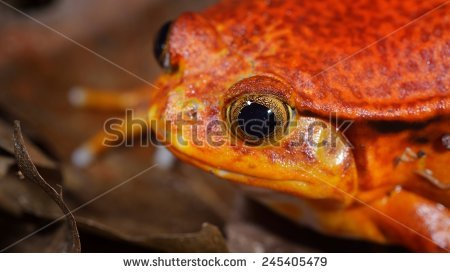 Dyscophus guineti Stock Photos, Images, & Pictures.