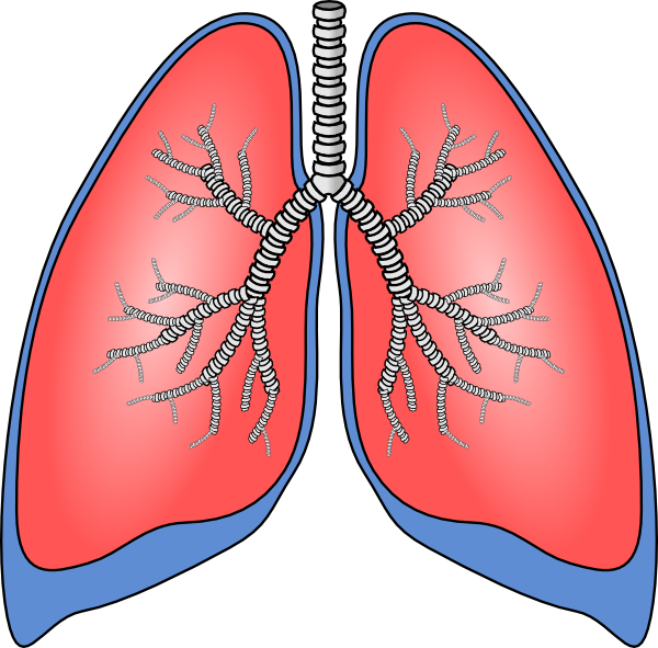 Lungs Clip Art at Clker.com.
