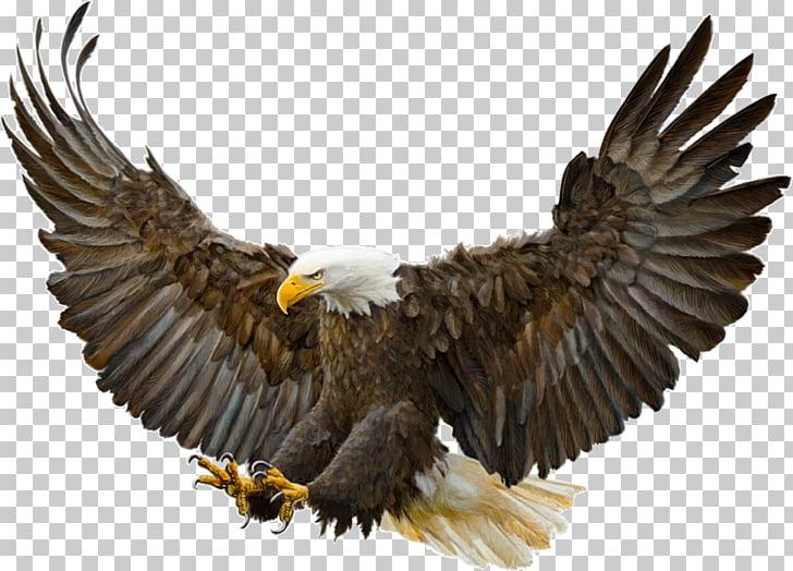Bald Eagle Bird Golden eagle Drawing, Bird PNG clipart.