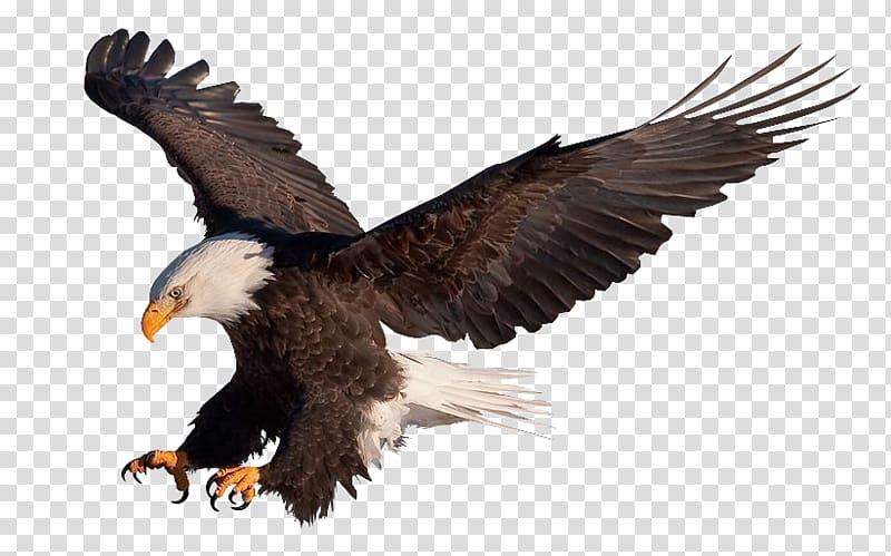 Bald Eagle Vulture , eagle transparent background PNG.