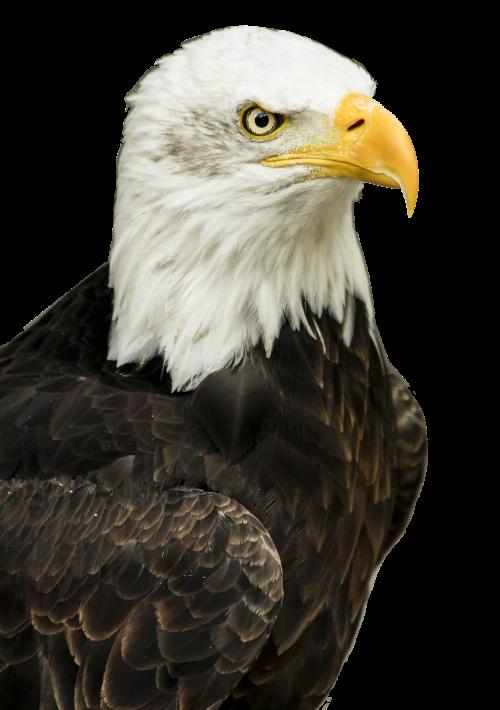 Eagle PNG Transparent Image.