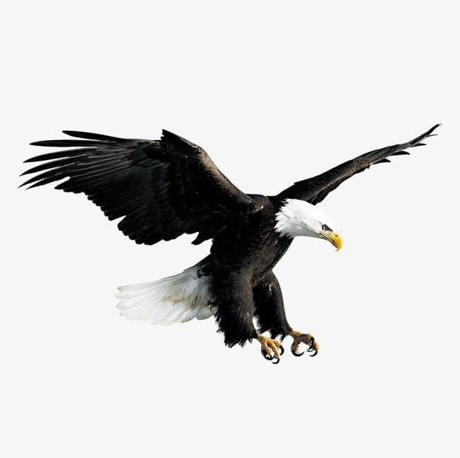Flying Eagle PNG, Clipart, Animal, Eagle, Eagle Clipart, Fly, Flying.