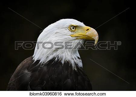 "Stock Images of ""Bald Eagle (Haliaeetus leucocephalus), falconry."