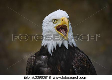 "Pictures of ""Bald Eagle (Haliaeetus leucocephalus), falconry at."