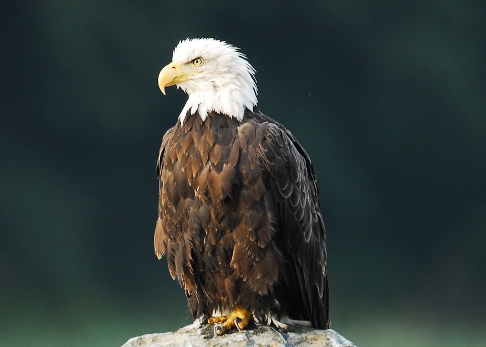 Eagle Sitting Png , (+) Pictures.