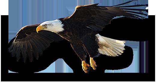 Eagle sitting png 1 » PNG Image.