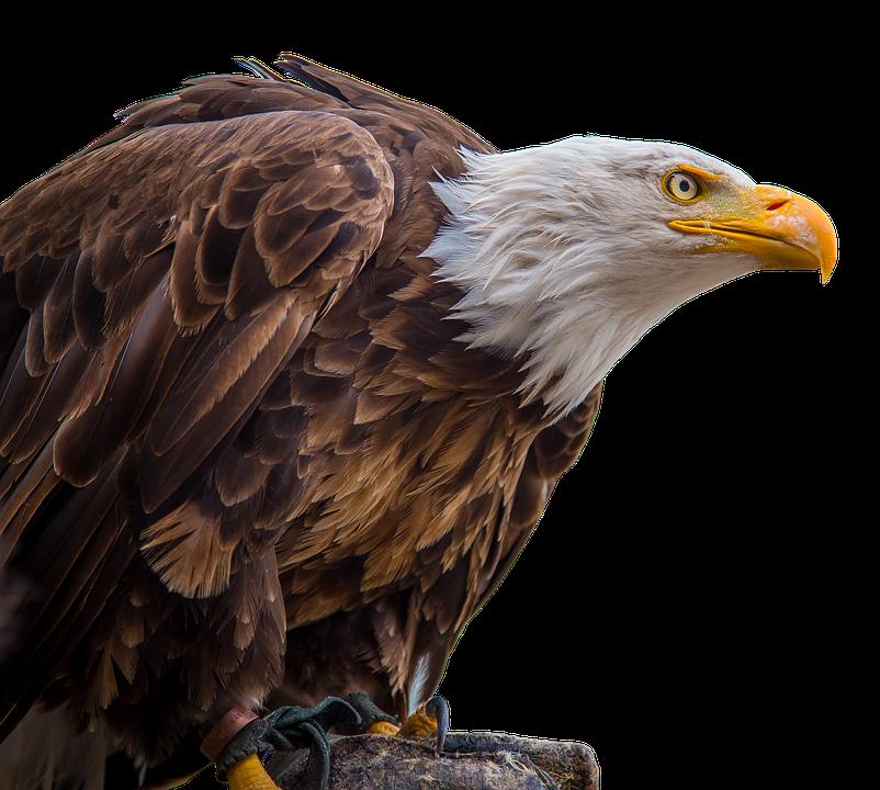 Bird,Accipitriformes,Bald eagle,Bird of prey,Vertebrate,Beak.