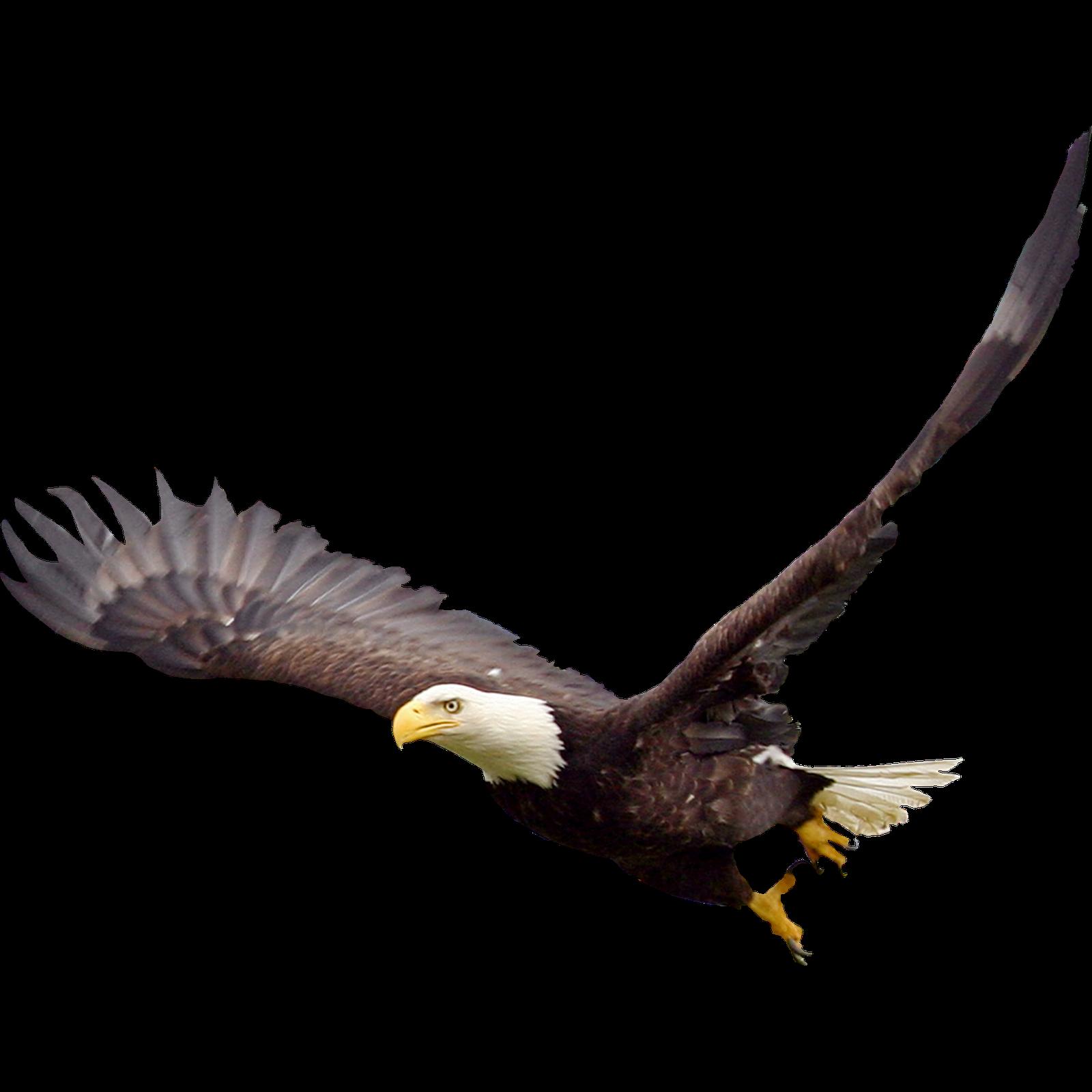 Bald Eagle PNG Image.