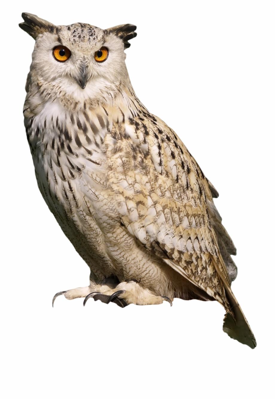 Owl Sitting.