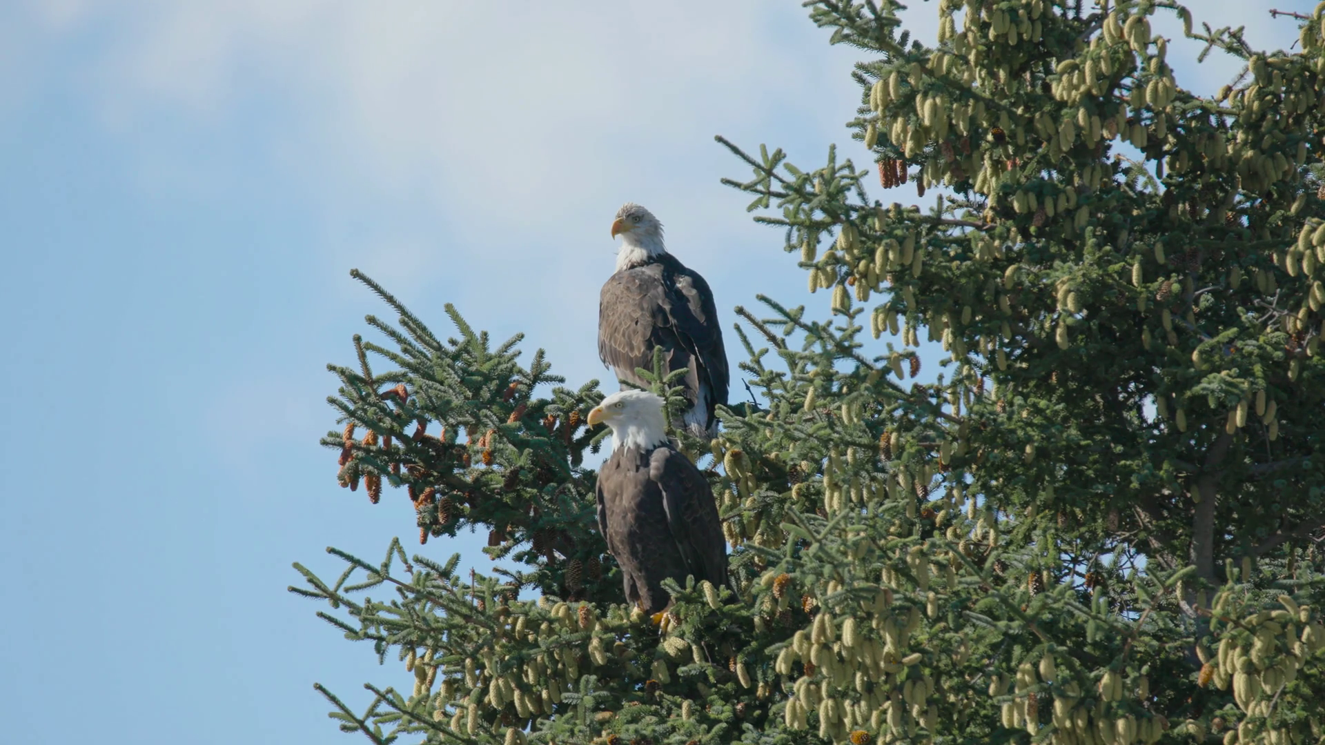 Two Eagles Sitting on Branch of Tree Stock Video Footage.
