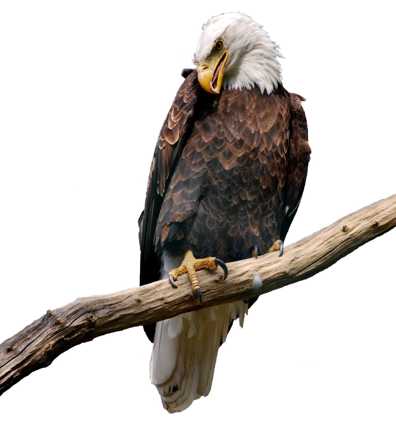 Eagle on Branch PNG Picture.