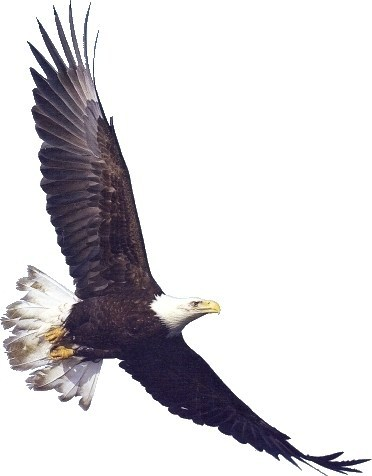 20+ American Bald Eagle Soaring Clip Art Ideas and Designs.