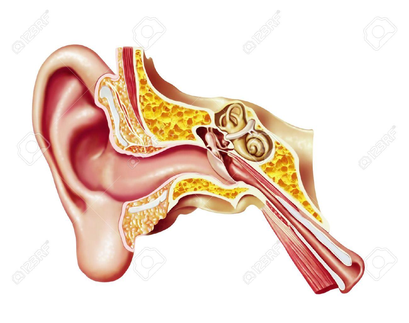 Ear canal clipart - Clipground