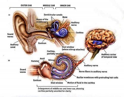 Ear canal clipart.