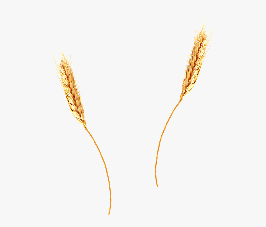 Ear Of Wheat Clipart.